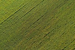 Aerial view of the sunflower field Royalty Free Stock Images