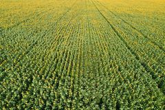 Aerial view of the sunflower field Stock Images