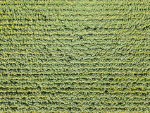Aerial Drone View Of Sunflower Field Ready For Harvest Royalty Free Stock Images