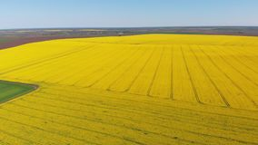 Aerial Drone view of Yellow Canola Field. Harvest Blooms Yellow Flowers Canola Oilseed. Rural field planted with many strips of bright yellow rape and green stock video footage