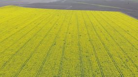 Aerial Drone view of Yellow Canola Field. Harvest Blooms Yellow Flowers Canola Oilseed. Rural field planted with many strips of bright yellow rape. Blossoming stock video footage