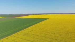 Aerial drone view of yellow canola field. Harvest blooms yellow flowers canola oilseed. Rural field planted with many strips of bright yellow rape and green stock footage