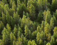 Aerial Evergreen Trees Stock Photography