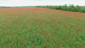 Aerial. Field with poppies stock video