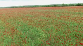 Aerial. Field with poppies stock video footage