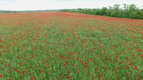 Aerial. Field with poppies stock footage