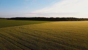 aerial Fliegen über das grüne Feld mit Wald auf dem Hintergrund Schöne helle Farben die Landschaft Goldenes Weizenfeld stock video footage