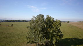 Aerial: flight over beautiful green tree at golden summer field. Morning near sea. Flying over the tree stock footage