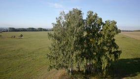 Aerial: flight over beautiful green tree at golden summer field stock video