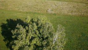 Aerial: flight over beautiful green tree at golden summer field. Morning near sea. Flying around the tree stock video