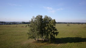 Aerial: flight over beautiful green tree at golden summer field. Morning near sea. Flying around the tree stock video footage