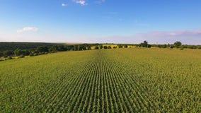 Aerial flight over corn field