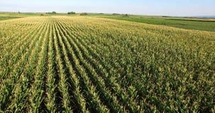 Aerial flight over corn plant field