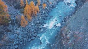 Aerial - Flight over a mountain autumn river. The water is turquoise and the larch is yellow. Flight in a beautiful. Mountain valley stock video