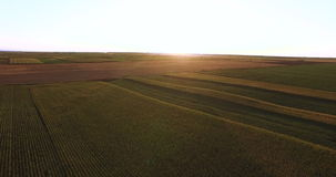 Aerial flight over plant fields  at sunset stock footage