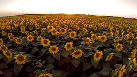 AERIAL: Flight over the sunflower field Stock Images