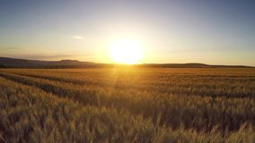 Aerial Flight over the wheat field stock video footage