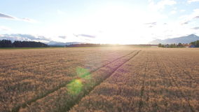 Aerial: Flight over wheat field with tractor track marks left in at sunset stock video footage