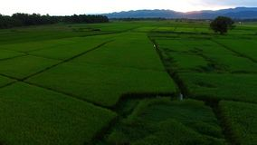 Rice Fields stock footage