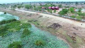 Aerial fly over on lake or pond and crowd of Water buffalo migration at river edge, moving camera view shot, High quality footage stock video footage