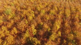 AERIAL: Flying above colorful forest treetops a autumn day. AERIAL: Flying above the stunning colorful forest treetops with leaves in yellow, orange and red a stock video footage