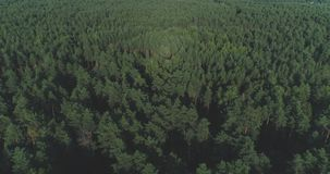 AERIAL: Flying above foggy pine forest treetops. Thick misty clouds rising from lush spruce forest on cold morning day. Creepy fog and mist wrapping green pine stock footage