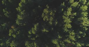 AERIAL: Flying above foggy pine forest treetops. Thick misty clouds rising from lush spruce forest on cold morning day. Creepy fog and mist wrapping green pine stock video