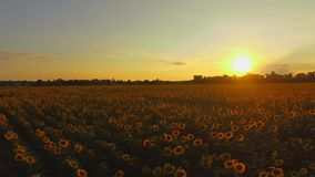 Aerial. Flying above sunflowers field. Sunset. Smooth movement. 4K