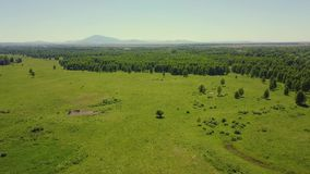 Aerial: flying in the highlands over the forest and field. View of the pasture where livestock grazes. stock video footage