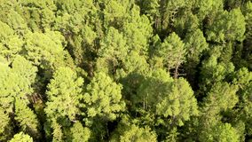 Aerial flying over a green grove with birch trees. Beautiful top view from drone of forest.