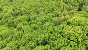 AERIAL: Flying over a vast lush green pine and spruce tree tops in the forest 4k. AERIAL: Flying over a vast lush green pine and spruce tree tops in the forest stock video footage