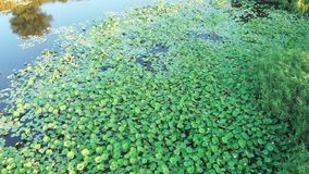 Aerial footage of flying over the pond with a growing lotus stock video footage