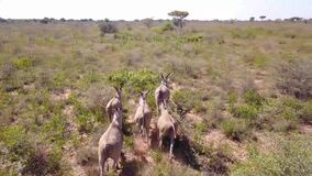 Aerial footage of herd of Cape Eland running through African bush