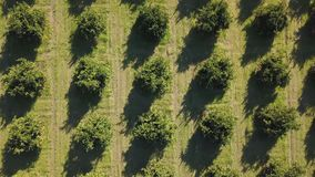 Aerial footage of an orange grove in spring