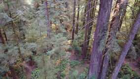 Aerial Footage of Redwood Forest in Northern California. A forest of Redwood trees thrives in northern California. This area is home to the tallest trees on stock footage