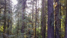 Aerial footage of Redwood Trees in California stock video footage
