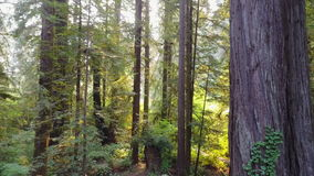 Aerial Footage of Redwoods in Northern California stock footage