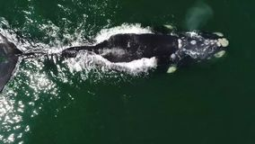 Aerial footage of Southern Humback whale in Gansbaai, South Affrica stock footage
