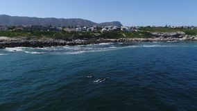 Aerial footage of Southern Humback whale in Gansbaai, South Affrica stock video footage