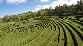 Aerial Footage Tea plantation at Cha Gorreana, Maia, San Miguel, Azores, Portugal stock video