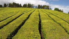 Aerial Footage Tea plantation at Cha Gorreana, Maia, San Miguel, Azores, Portugal stock video footage
