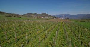 Aerial footage of vineyard in early spring with dandelion blooming.  stock video