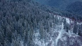 Aerial footage of winter fir tree forest in the mountains. View from above of pine trees covered with snow. Quadcopter stock footage