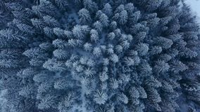 Aerial footage of winter fir tree forest in the mountains. View from above of pine trees covered with snow. Quadcopter. Flyover frozen snowy spruce woods stock footage