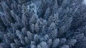 Aerial footage of winter fir tree forest in the mountains. View from above of pine trees covered with snow. Quadcopter. Flyover frozen snowy spruce woods stock video footage
