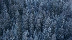 Aerial footage of winter fir tree forest in the mountains. View from above of pine trees covered with snow. Quadcopter. Flyover frozen snowy spruce woods stock video