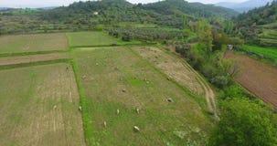 Aerial free range sheeps are feeding in Anatolia, Turkey stock footage