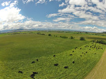 Aerial of Grazing Cattle royalty free stock photos