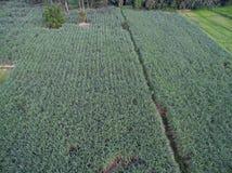 Aerial image Thai sugarcane Stock Photo