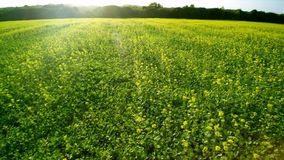Aerial 4K low flight over a field of colza. The sun shines, low on the horizon on top of trees. Lateral move. Aerial 4K low flight over a field of colza. The stock footage